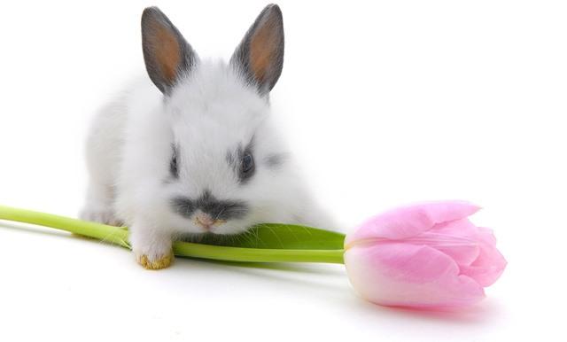 Кролик с тюльпаном.Животный мир