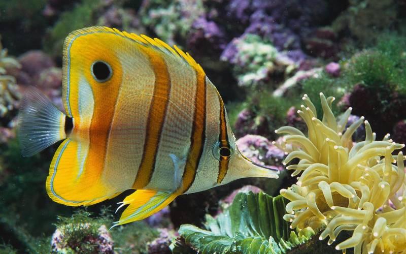 Copperband butterflyfish - Животный мир