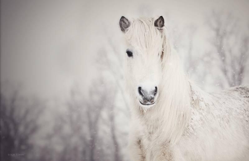 Картинка Снежная лошадь из коллекции Обои для рабочего стола Животный мир