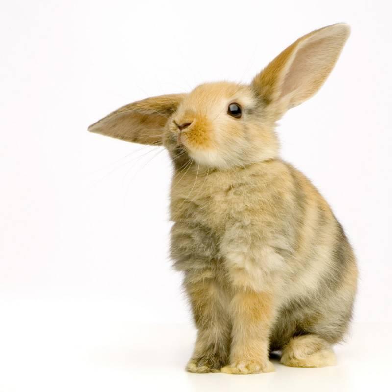 Ушастый кролик.Животный мир
