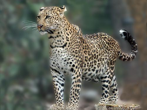 Леопард фото - Животный мир
