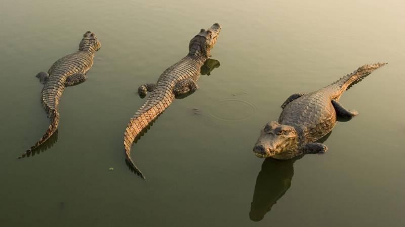 Caimans - Животный мир