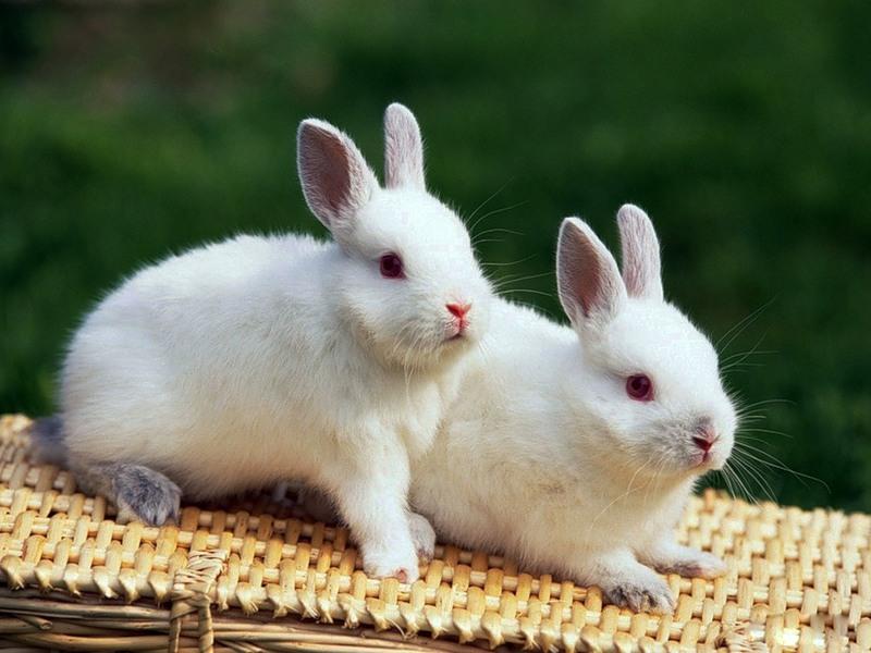 Белые кролики.Животный мир