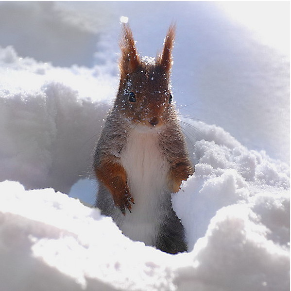 Белка на снегу.Животный мир