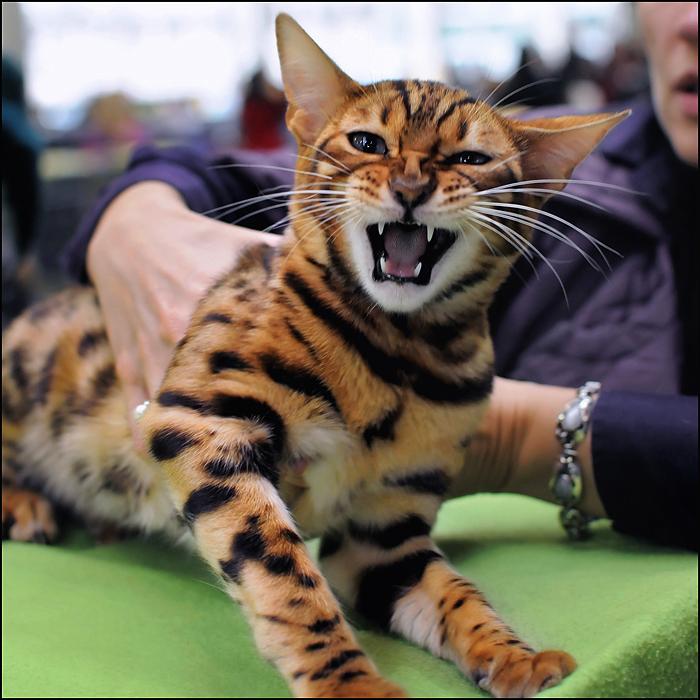 Бенгальский кот - Животный мир