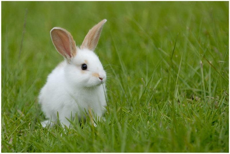 Картинка Белый кролик из коллекции Обои для рабочего стола Животный мир