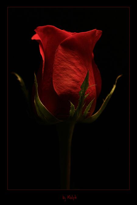 Роза - Цветы