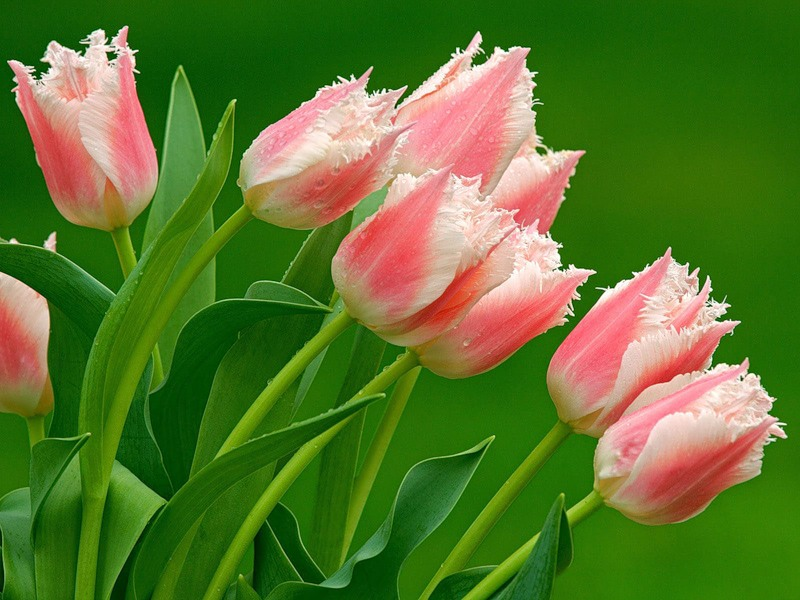 Цветы тюльпаны цветы обои для