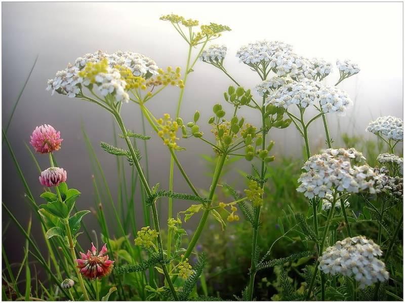 Полевые цветы.Цветы