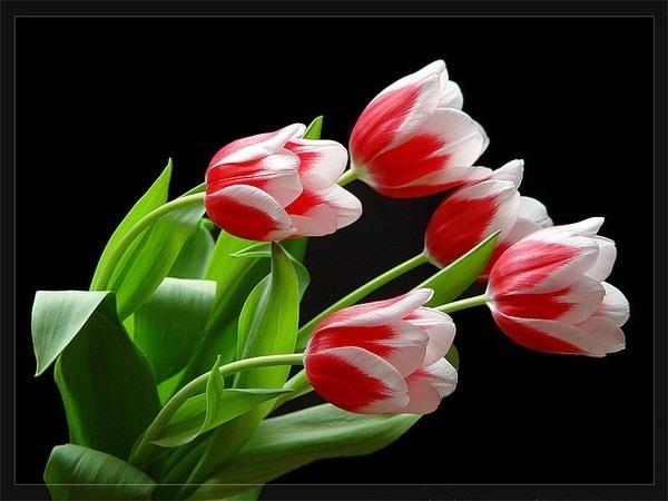 Картинка Букет Тюльпанов из коллекции Обои для рабочего стола Цветы