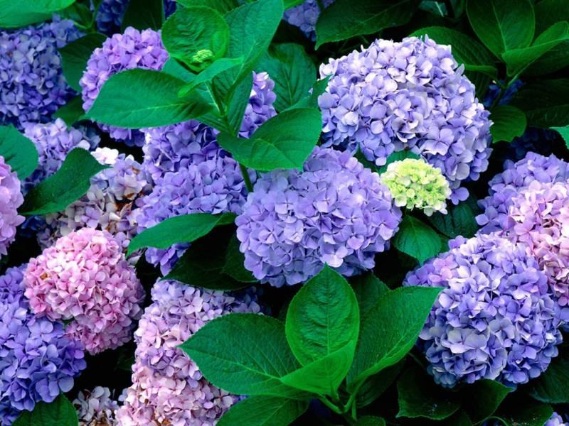 Гортензия сад.Цветы