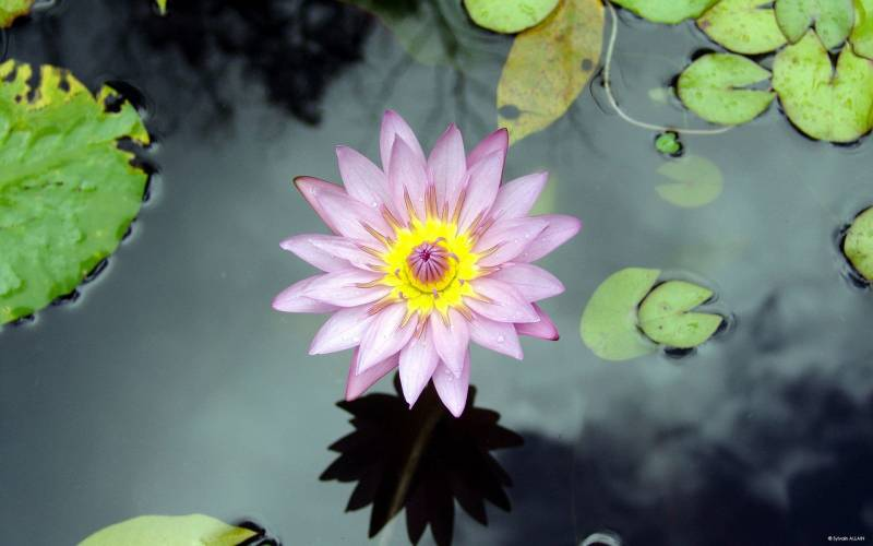 Кувшинка Лотос - Цветы