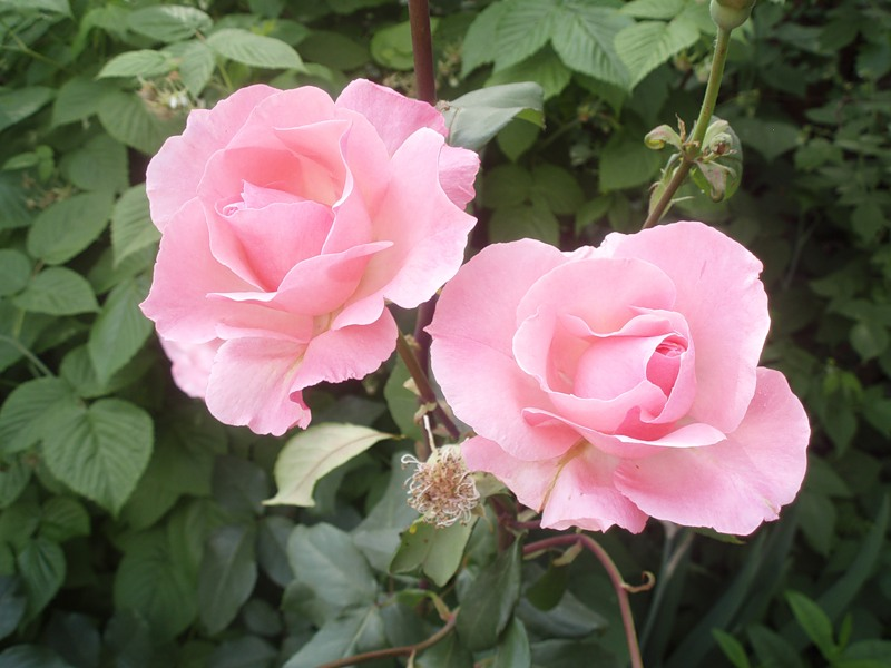 Картинка Живые розы из коллекции Обои для рабочего стола Цветы