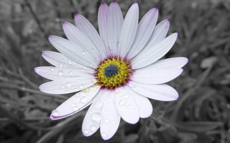 Ромашка.Цветы