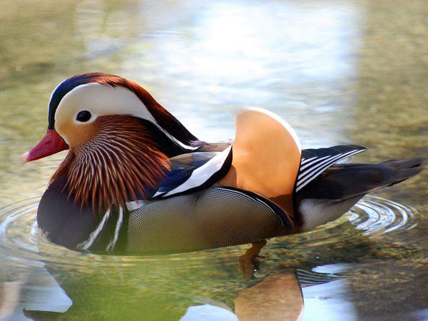 Мандарин Дрейк.Птицы