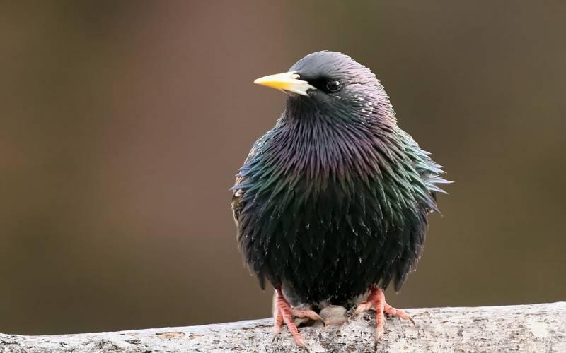 Скворец.Птицы