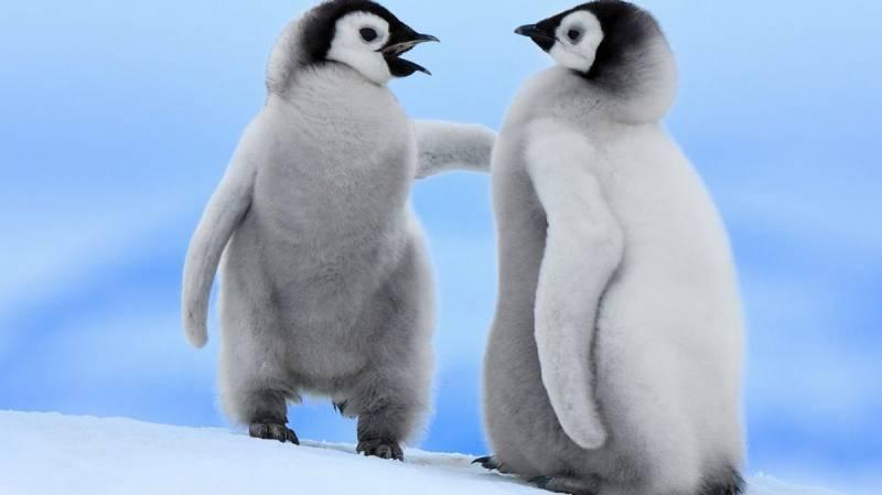 Пингвинчики.Птицы