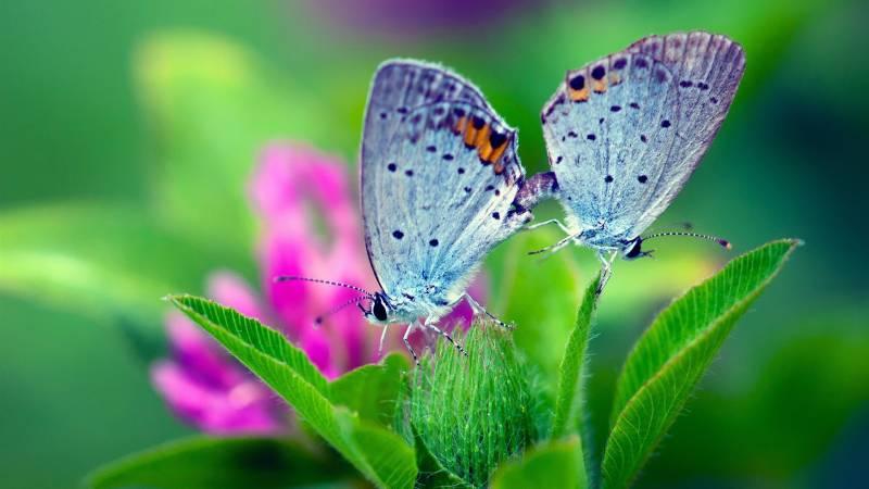 Картинка Обои с двумя бабочками из коллекции Обои для рабочего стола Насекомые