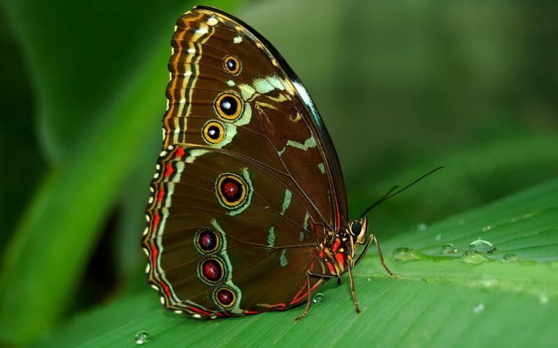 Бабочка Морфо.Насекомые