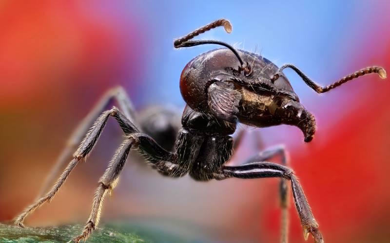 Макро муравей.Насекомые