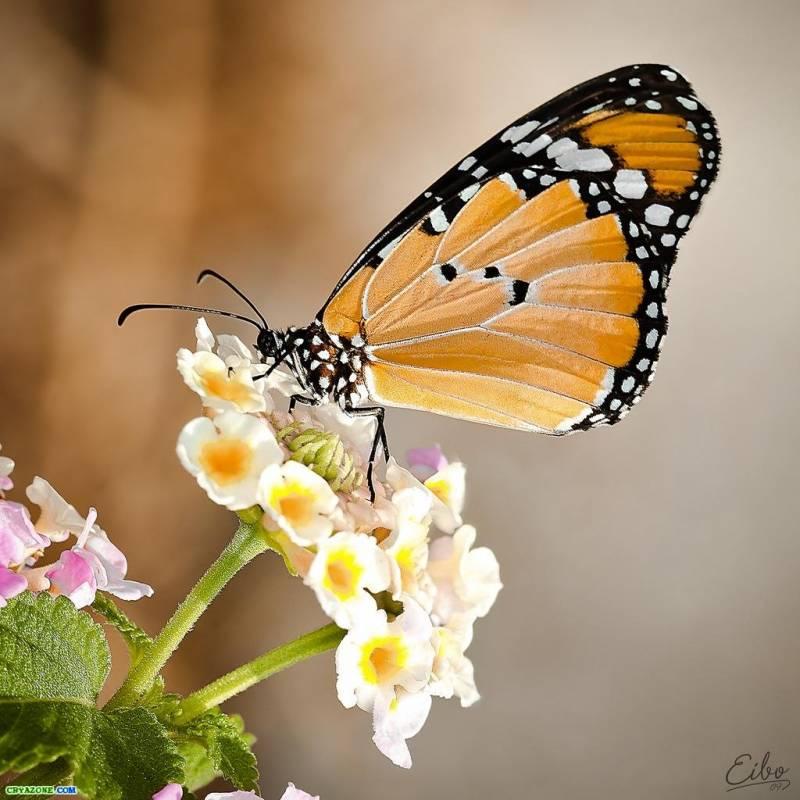Бабочка - Насекомые