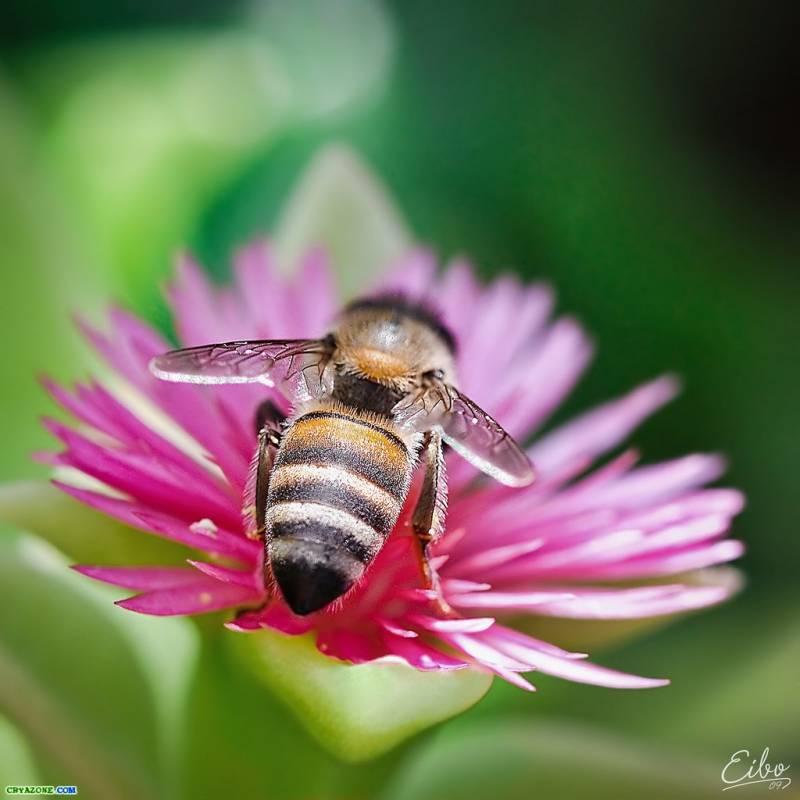 Картинка Пчела из коллекции Обои для рабочего стола Насекомые