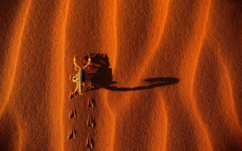 Обои Скорпион - Насекомые